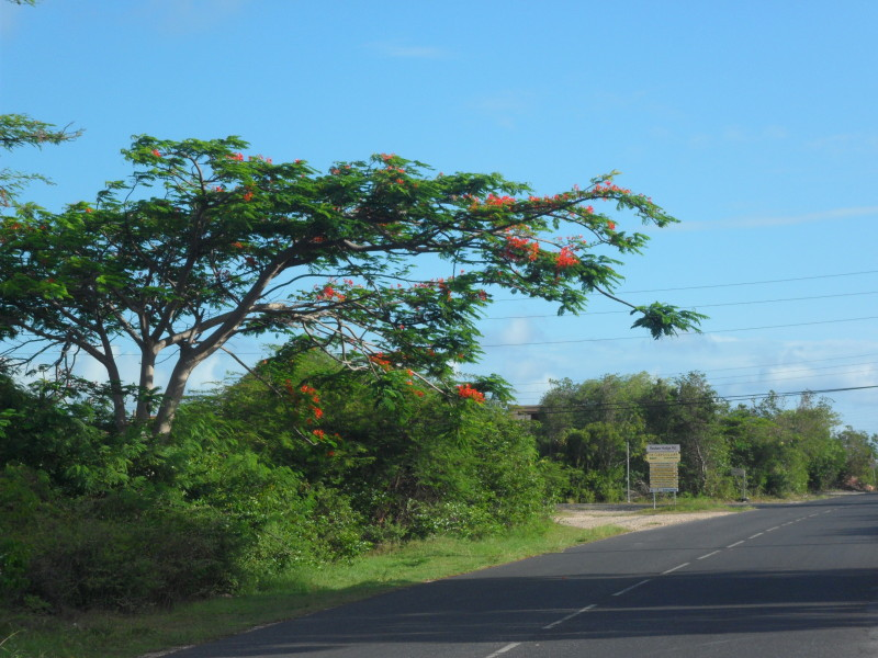 Flamboyant tree in partial bloom in Stoney Ground, Anguilla