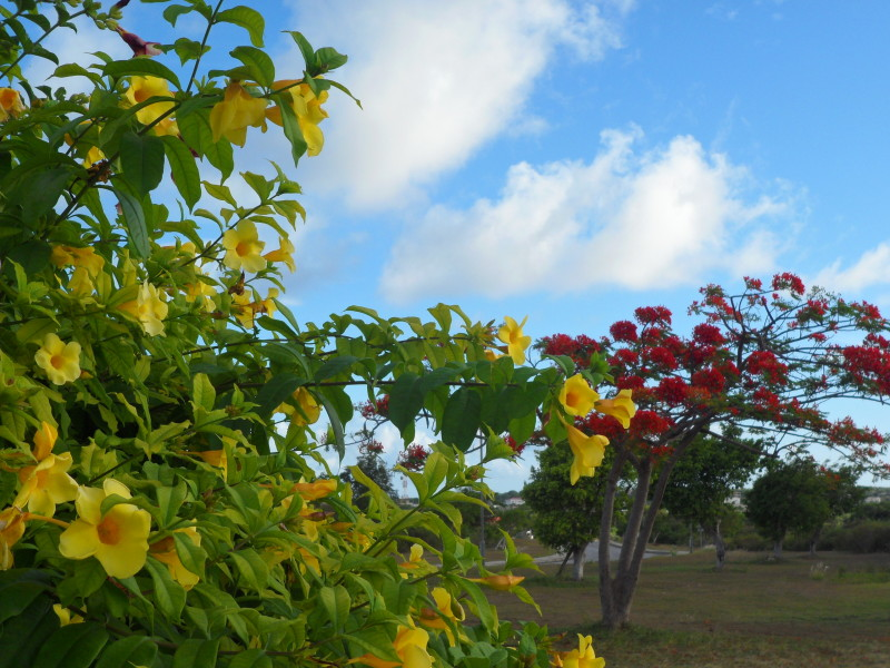 Flamboyant tree and other flower in Anguilla