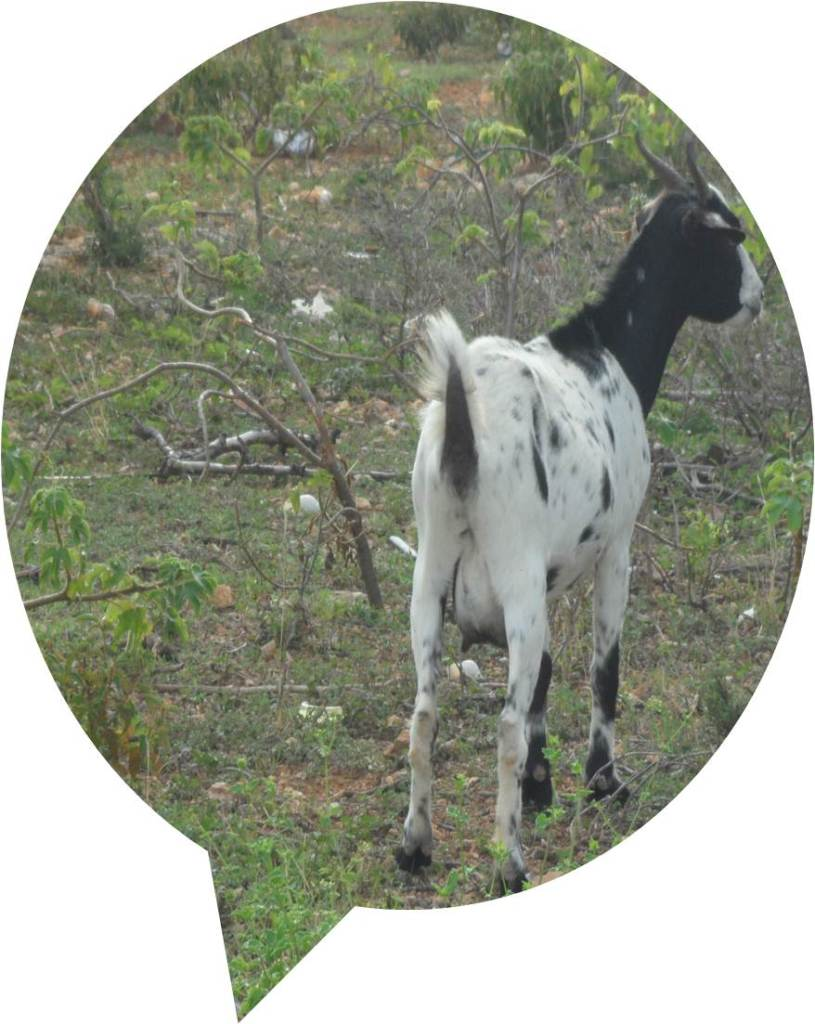 'Limin' the goat is Anguilla