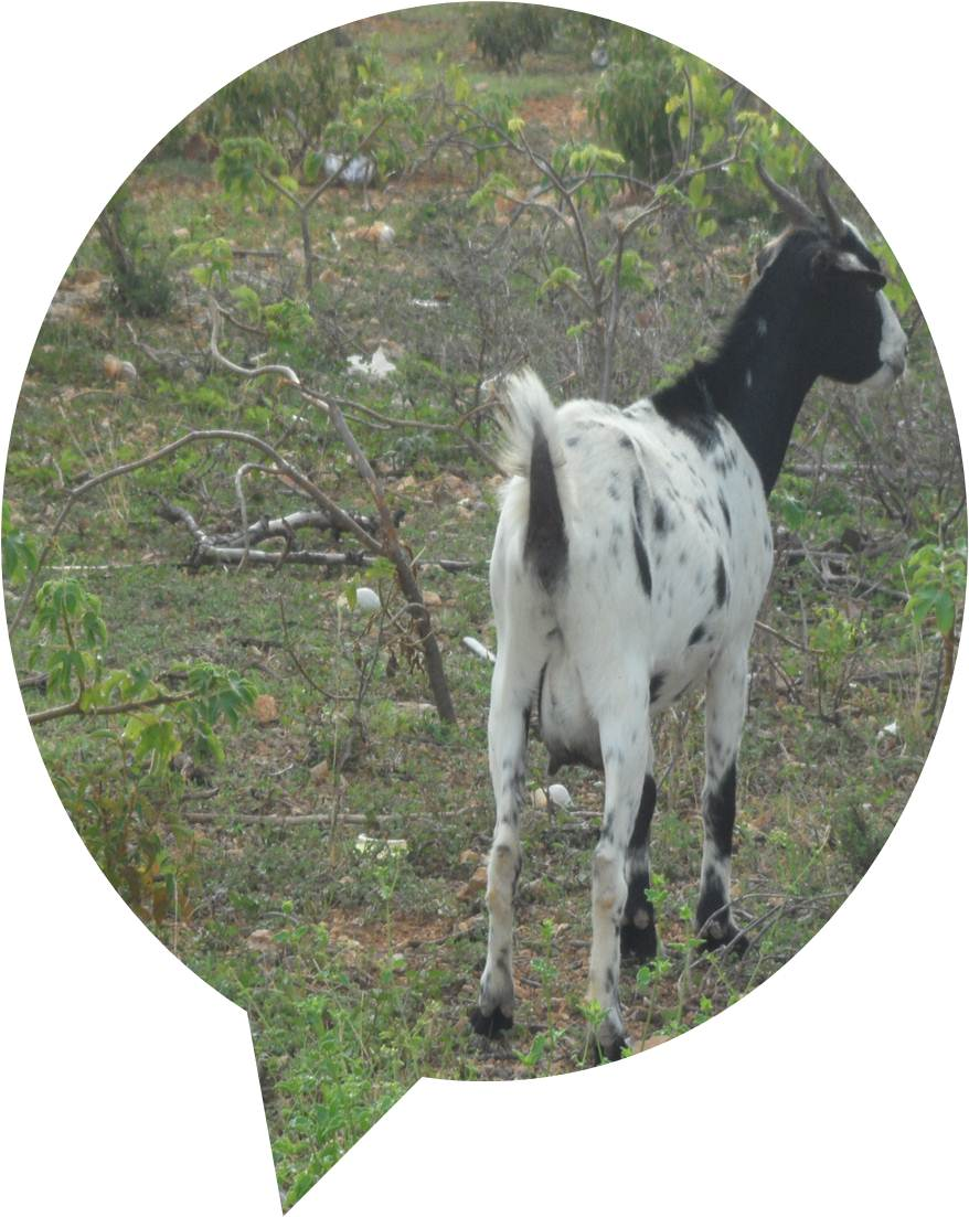 Tourism in Anguilla from a goat's viewpoint