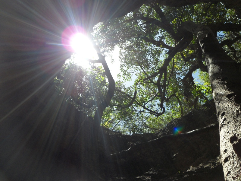 Another view of tree inside Iguana Cave, Anguilla