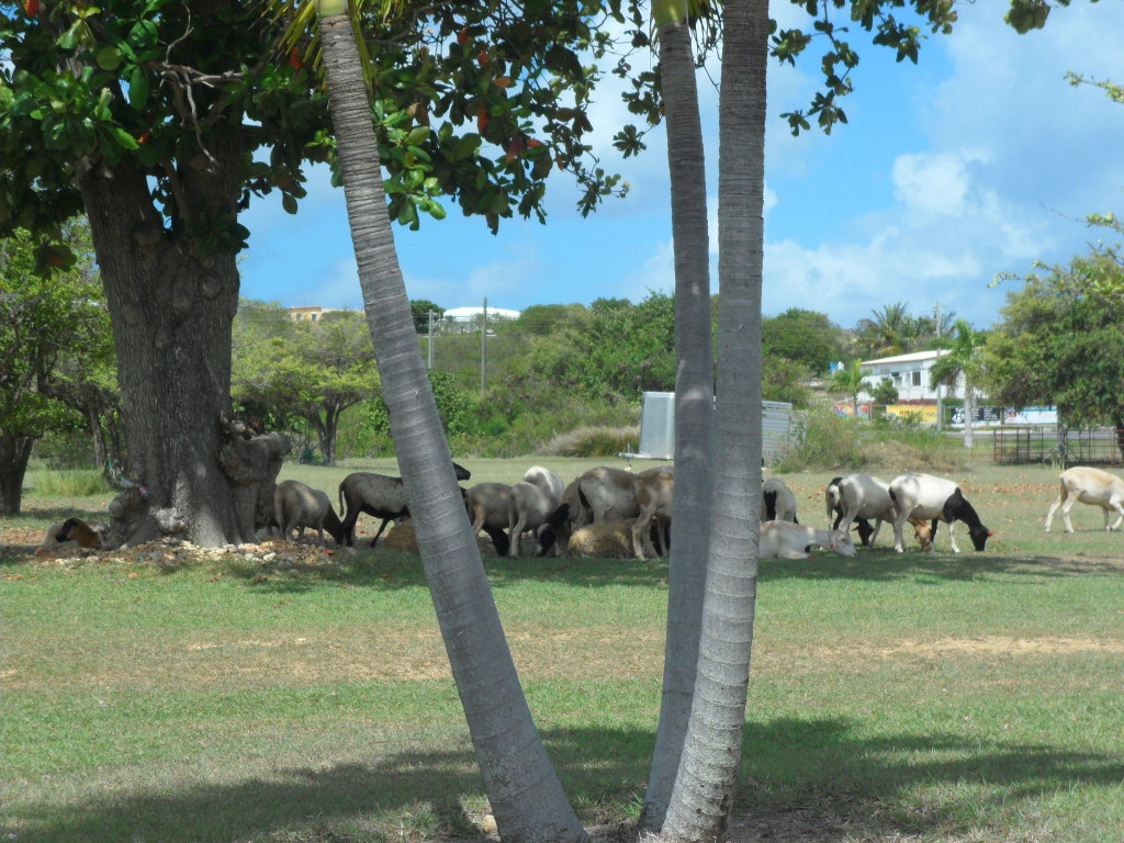 Sheep grazing in Anguilla