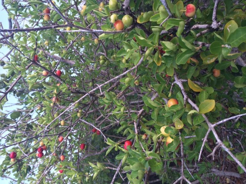 Cherry Trees - Windward Point Area