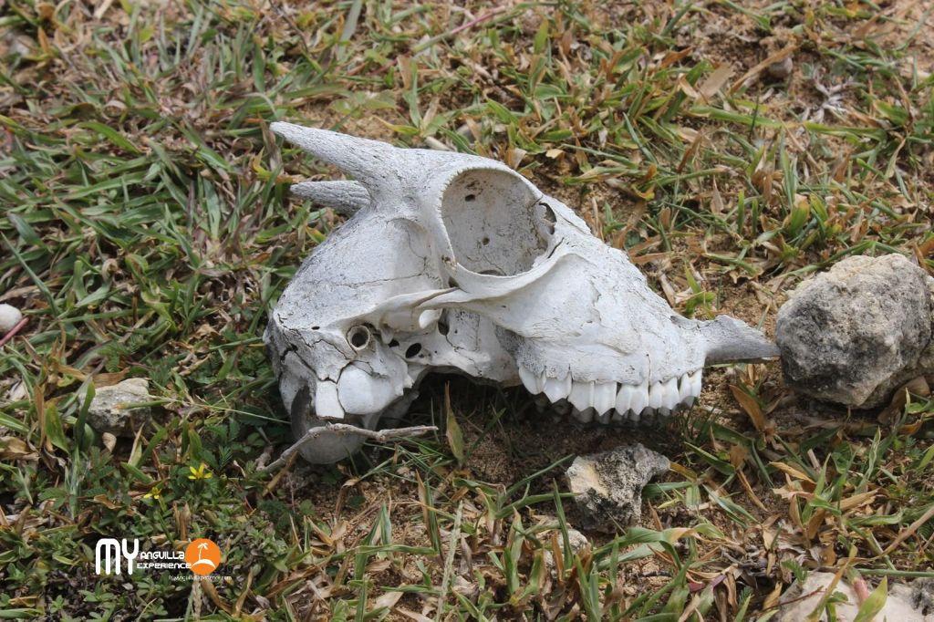 Goat remains at Dog Island