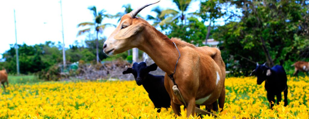 Goats and Flowers